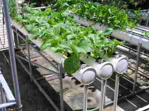 vitamins keep hydroponics plants healthy