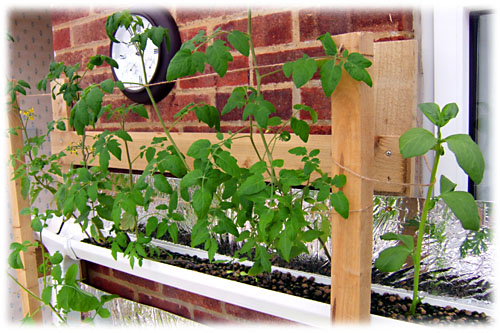 Tomatoes For Hydroponic Growing Systems