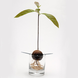 what plants grow in water avocados love hydroponics. Black Bedroom Furniture Sets. Home Design Ideas